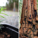 About Redwood Trees